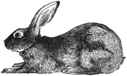 image: Rabbit